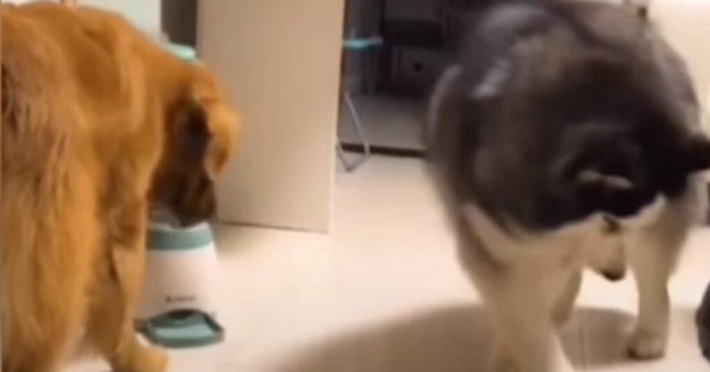 L'Husky e il Golden Retriever affrontano un dispenser automatico di cibo e il risultato è esilarante (video)