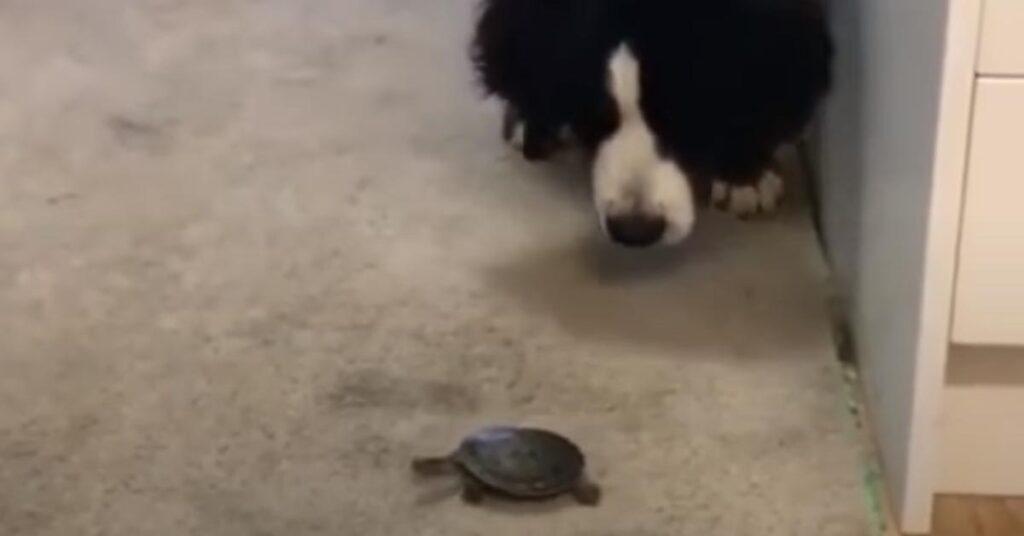 Bovaro del Bernese con una tartaruga