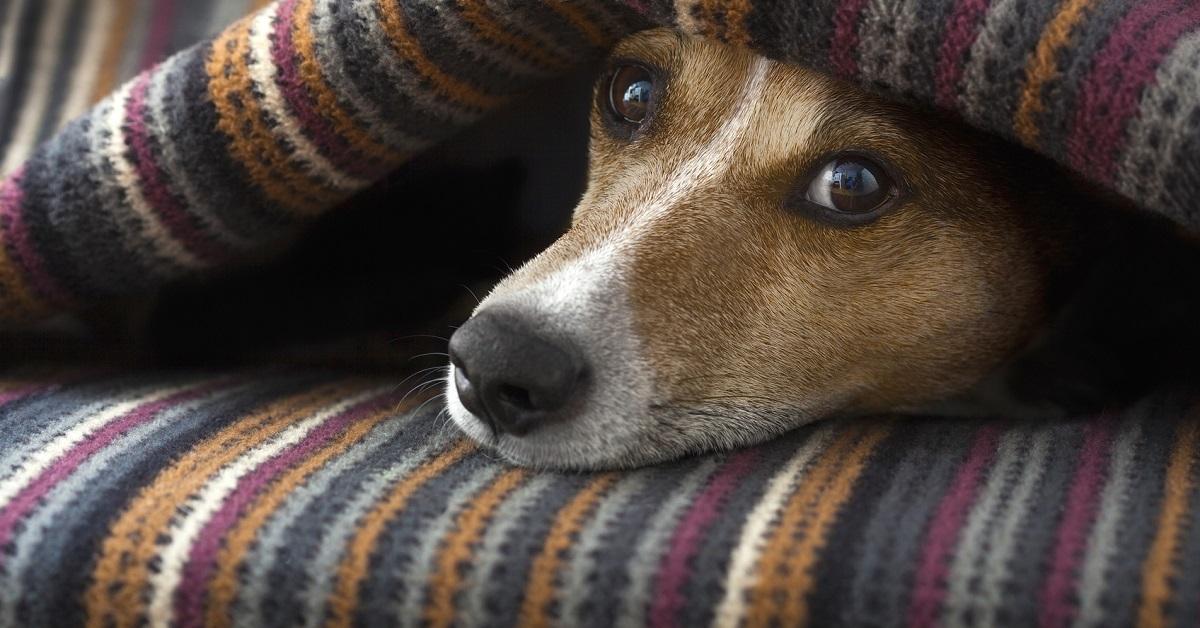 Perché il cane morde tutte le coperte di casa e come fare a fermarlo?