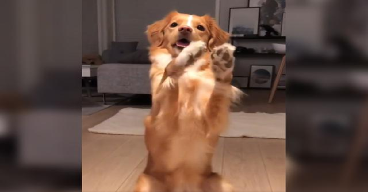 Moxie, la cucciola di Toller che adora i broccoli (VIDEO)