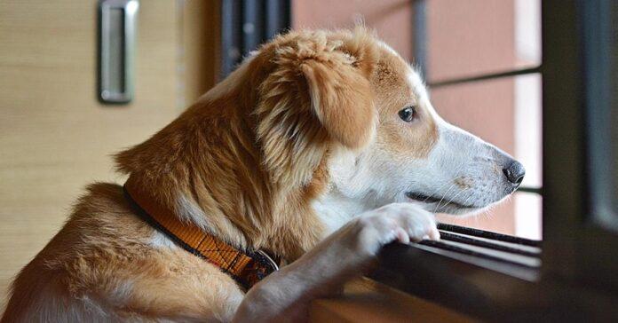 Cane che guarda fuori dalla finestra