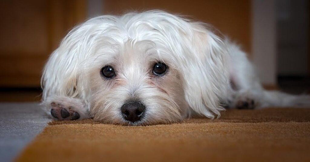 Questa razza di cani è la più abbandonata in assoluto e a quanto pare c'è un motivo