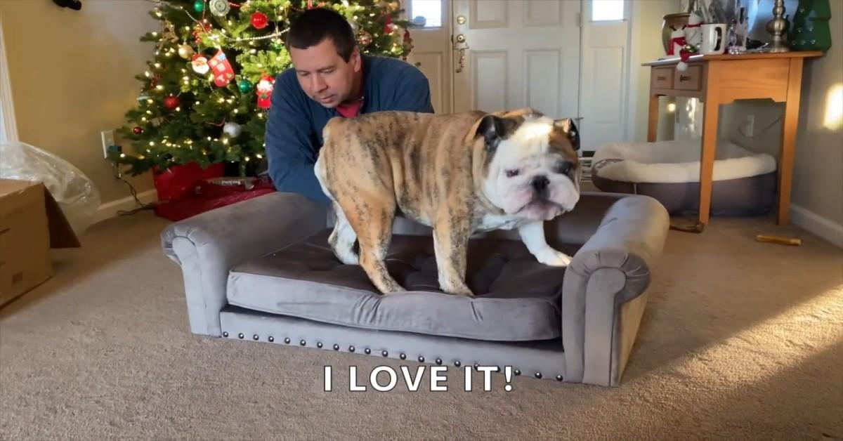 Reuben cucciolo di Bulldog inglese apre in anticipo il regalo di Natale (VIDEO)