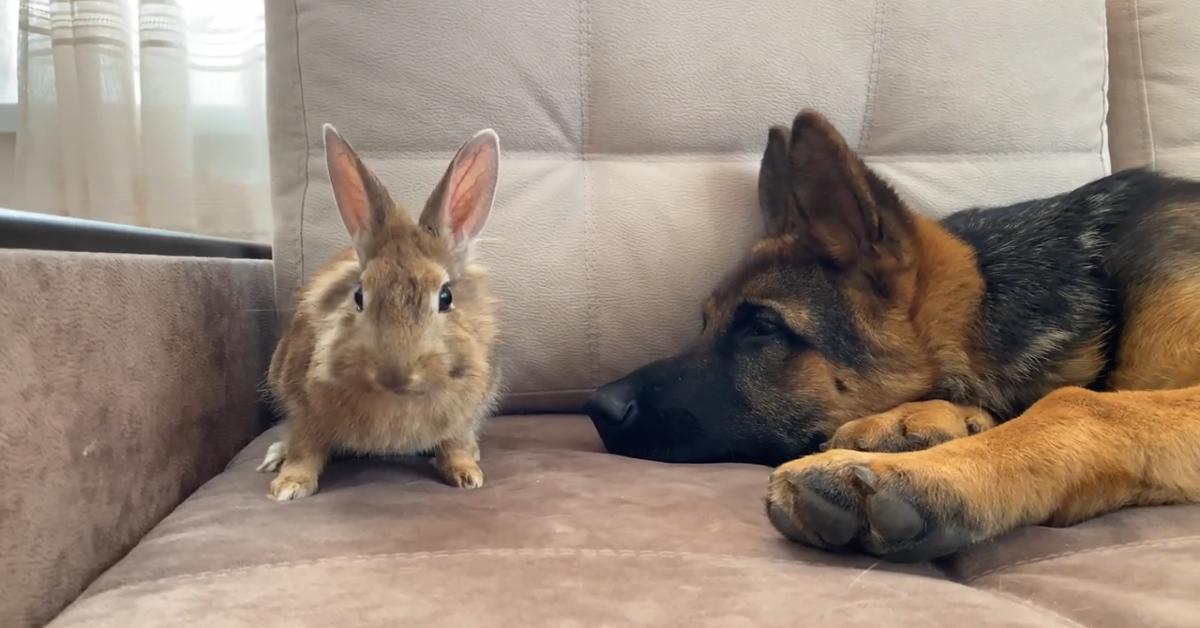 Rocky cucciolo di Pastore tedesco gioca con un coniglietto (VIDEO)