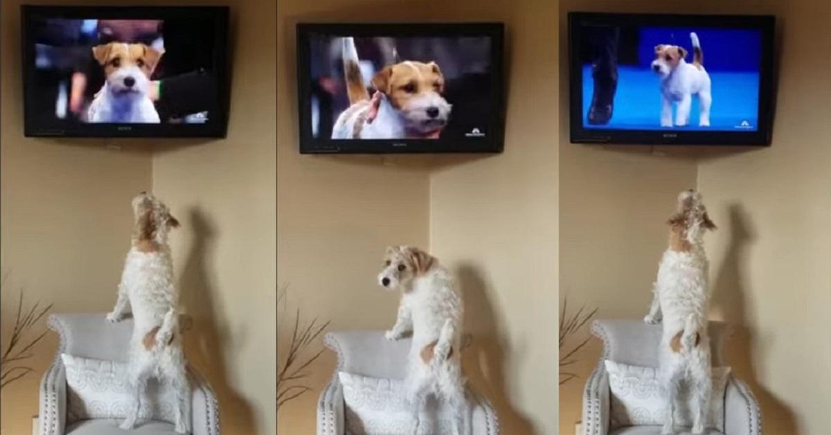 Il tenero cucciolo di Russell Terrier guarda un programma di cani in tv (VIDEO)