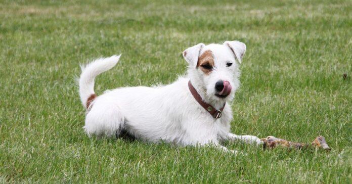 ussell Terrier guarda un programma di cani in tv