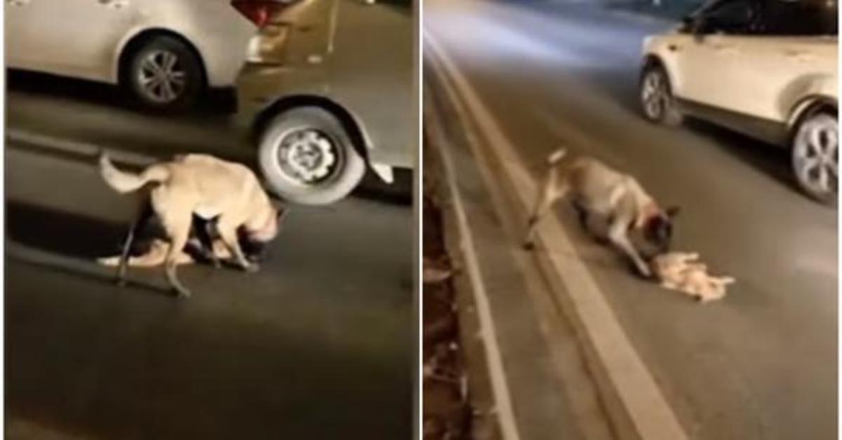 Pantera Nera, un cucciolo di cane che cerca di rianimare un gatto investito da un auto e commuove il web (VIDEO)