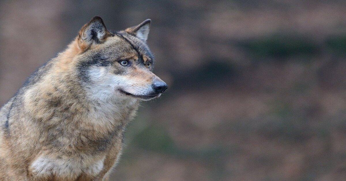 Svelate le vere differenze tra cane e lupo: ecco quelle che tutti ignorano
