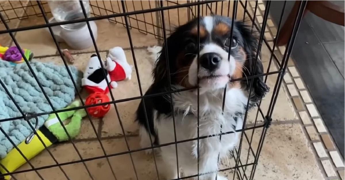 Terranova aiuta il cucciolo di Cavalier King