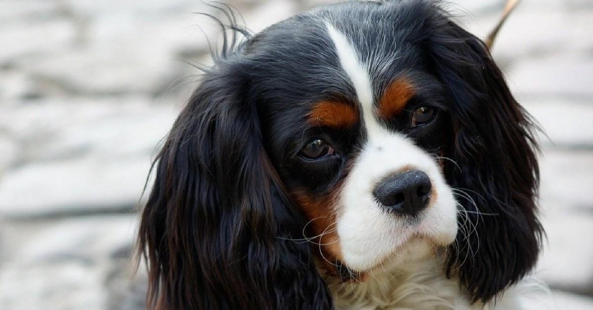 cucciolo di Cavalier King