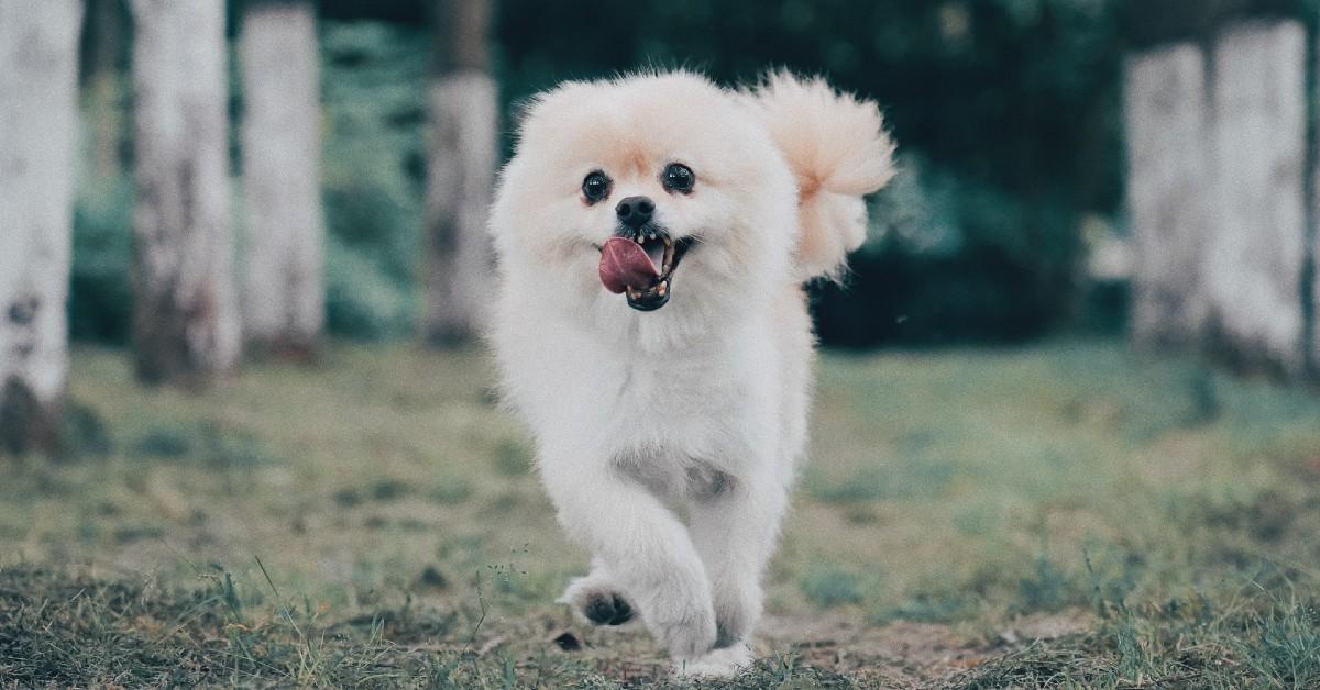 cuccioli di pomerania come riconoscerli