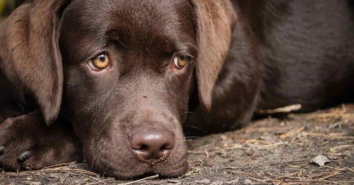 attenzione sguardi cane potrebbe dirti più di quanto pensi