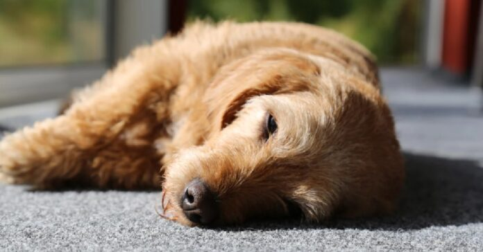 attenzione quando cane sviene potrebbe significare molte cose