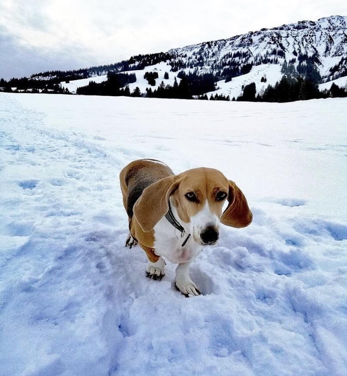 cane orecchie lunghe neve