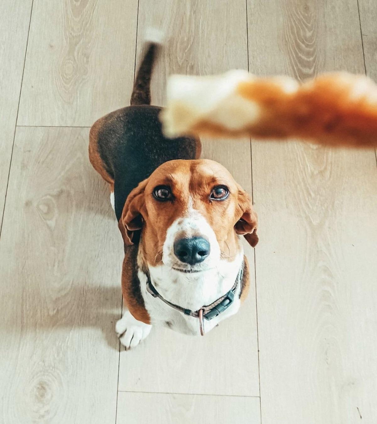 Basset Artésien Normand, socializzazione: tutti i trucchi per un cane senza problemi