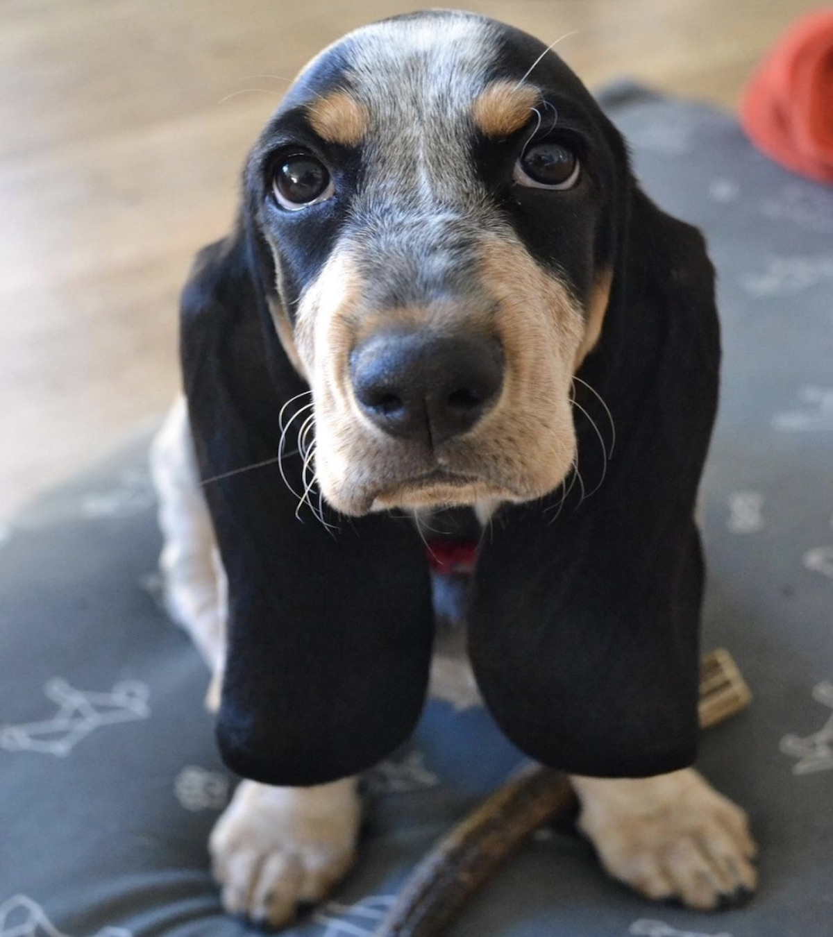 basset musetto dolce