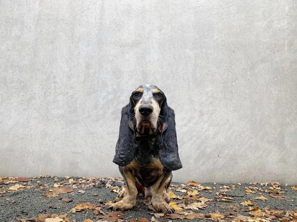 Basset Bleu de Gascogne: storia ed evoluzione di questa razza di cani