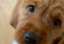 cagnolino occhi dolci