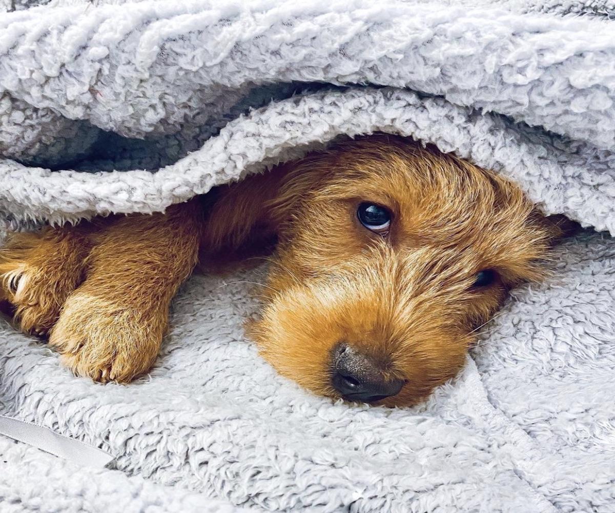 cagnolino sotto le coperte