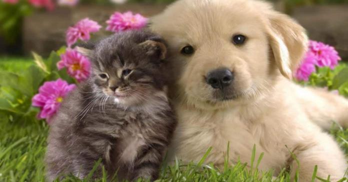 cucciolo Golden e gatto abbracciati
