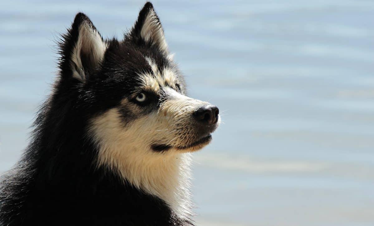 Siberian Husky al caldo