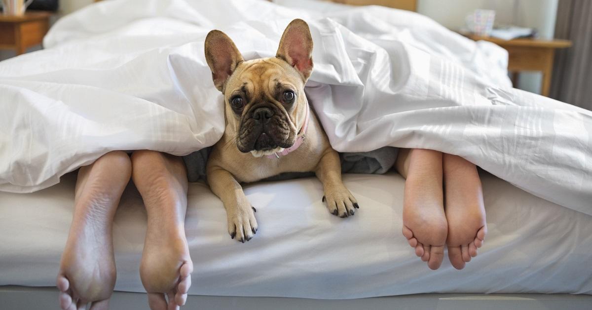 cane carlino a letto