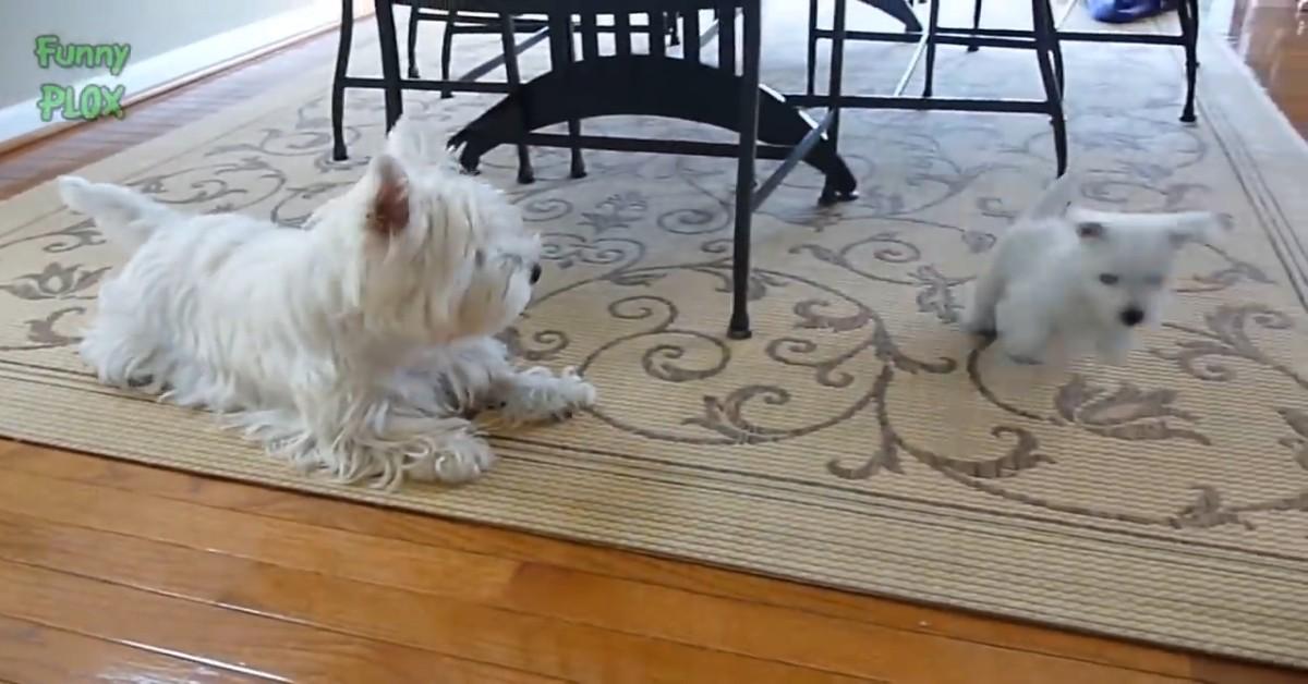 Attenzione, se hai uno di questi cani dovresti stare molto attento quando ce ne sono altri in giro