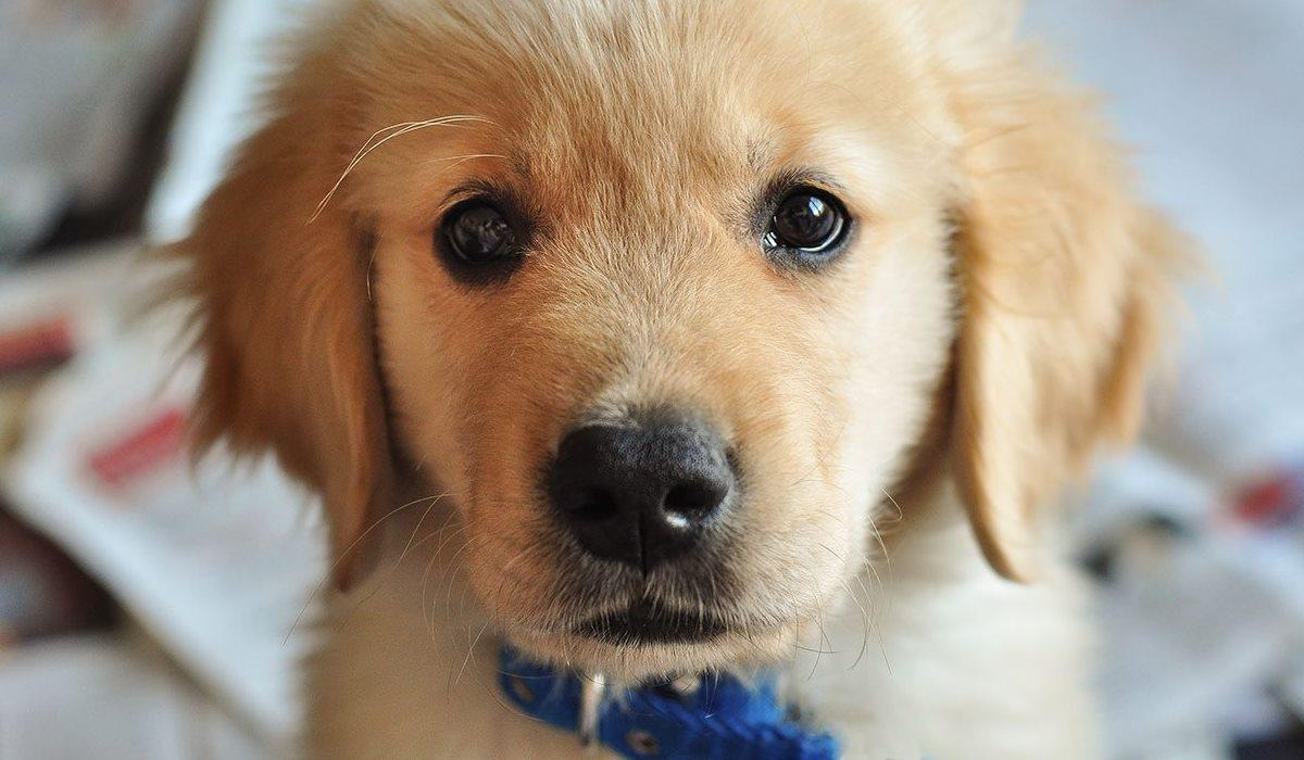 Canigen DHPPi/L per cani: cosa sapere su questo vaccino polivalente
