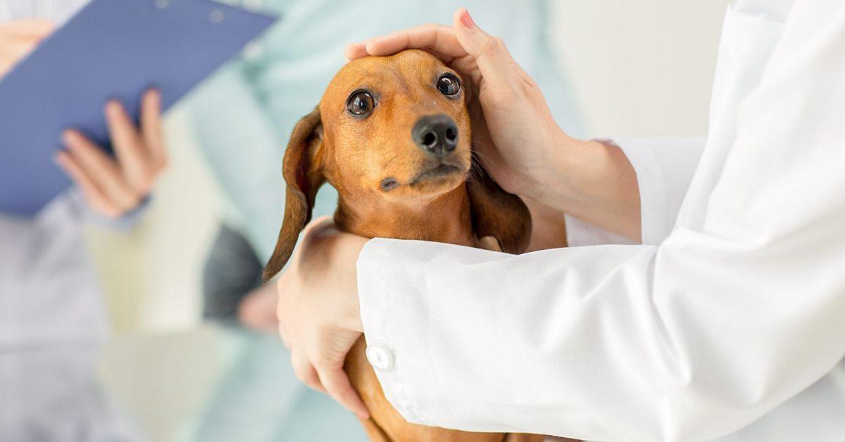 veterinario accarezza il cane