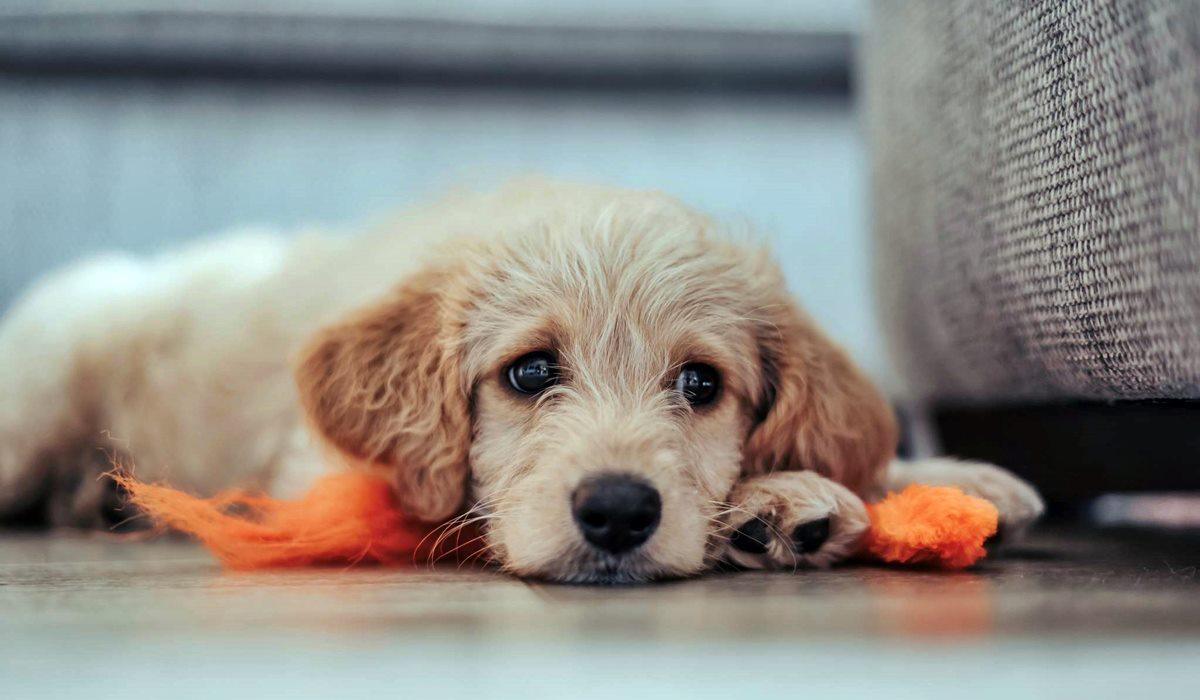 Canigen DHPPi per cani: cosa sapere su questo vaccino polivalente