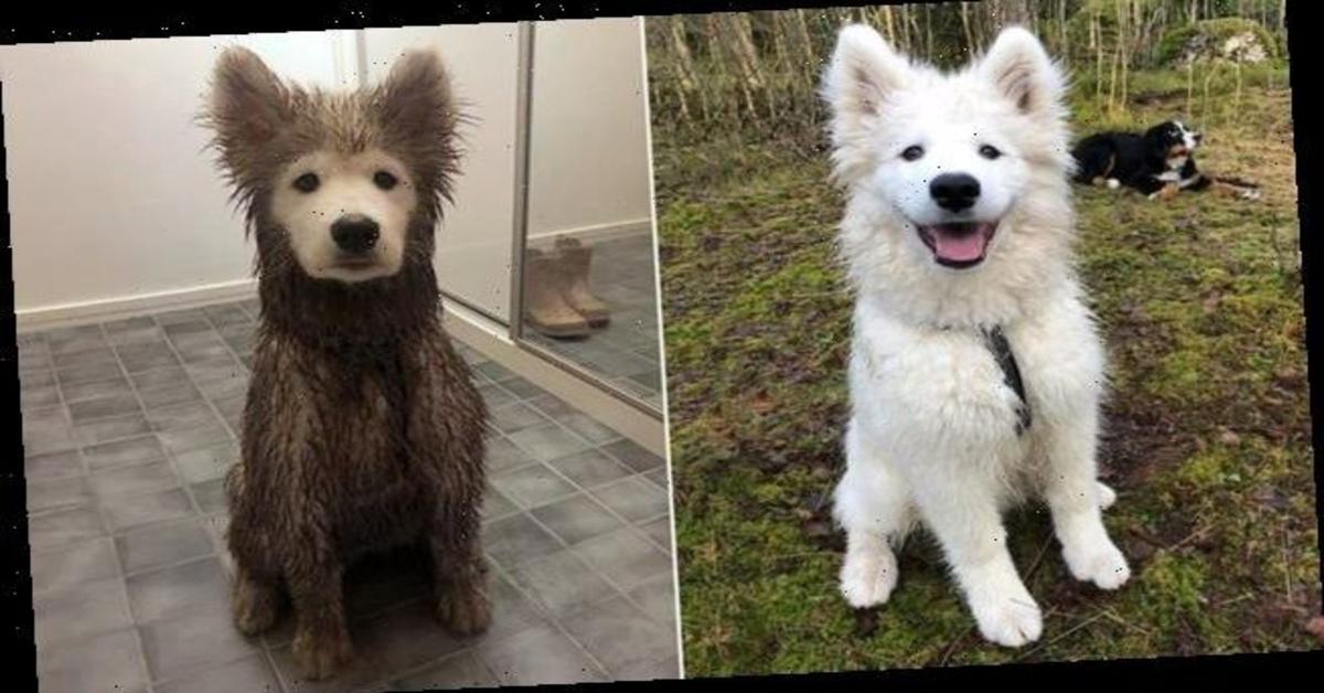Onni, il cucciolo di Samoiedo che quando si sporca si trasforma in un altro ( VIDEO)
