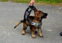 cucciolo di cane poliziotto