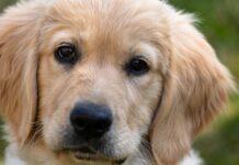 cucciolo di cane sguardo tenero