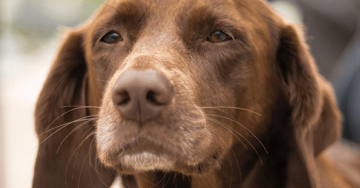 Come rianimare un cane anziano: tutti i passaggi e come agire in caso di perdita dei sensi