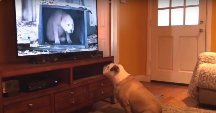 bulldog tv guarda