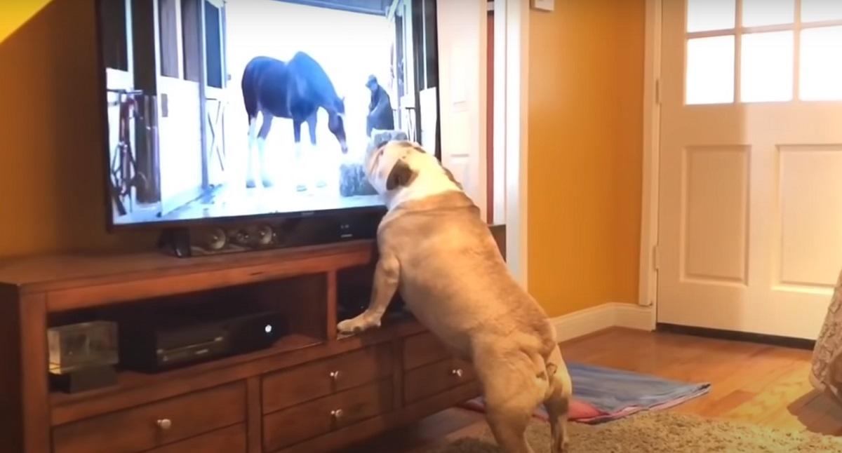 Cucciola di Bulldog Inglese non perde mai il suo appuntamento in TV, il video è esilarante