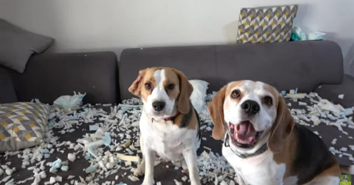 Cuccioli di Beagle fanno un pasticcio in casa: chi è stato? (VIDEO)
