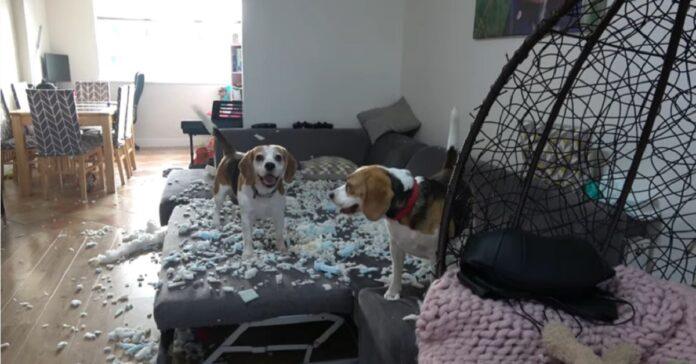 cuccioli di Beagle fanno un pasticcio in casa