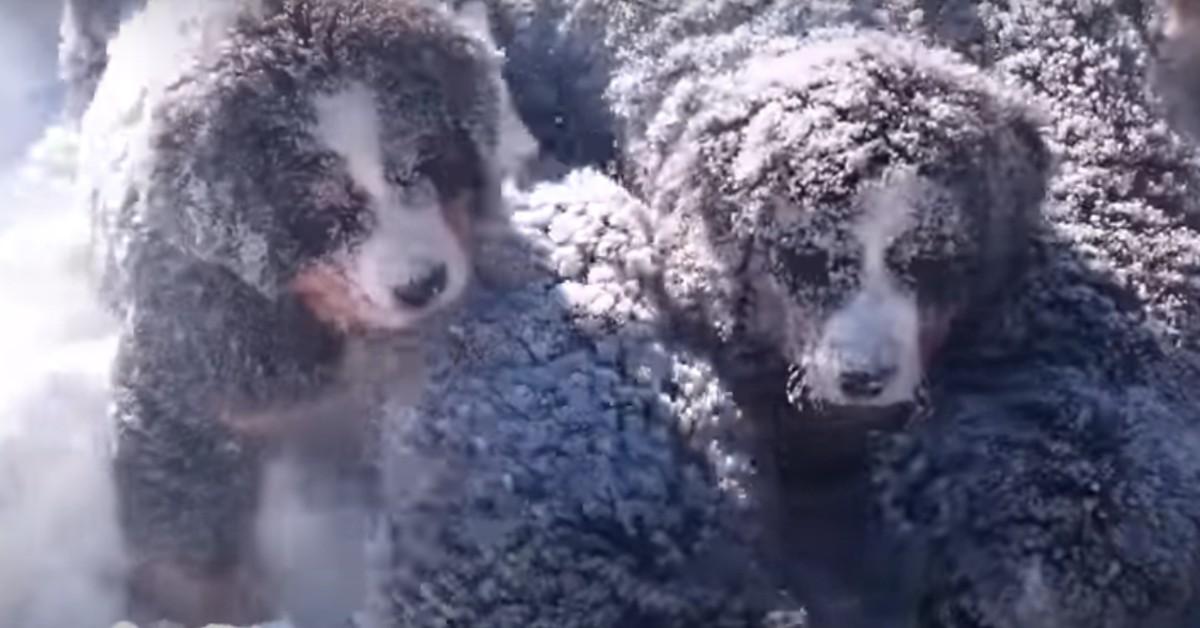 Dei cuccioli di Bernese giocano sulla neve in un modo davvero dolce (VIDEO)