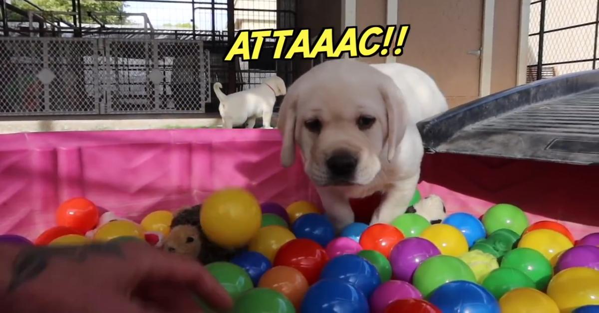 Cuccioli di Labrador giocano con palline colorate e si divertono moltissimo (VIDEO)