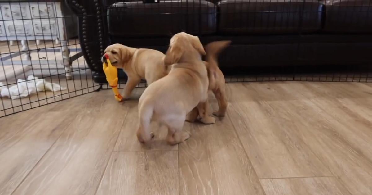 Dei cuccioli di Labrador giocano con dei polli di plastica (VIDEO)
