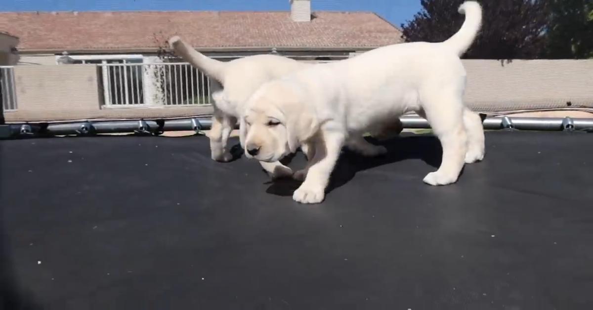 Dei cuccioli di Labrador si divertono su un trampolino elastico (VIDEO)