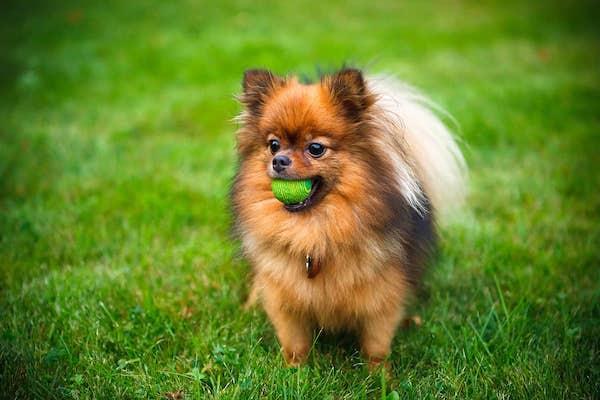 Cuccioli di Pomerania: comportamento, carattere e peculiarità di questa razza