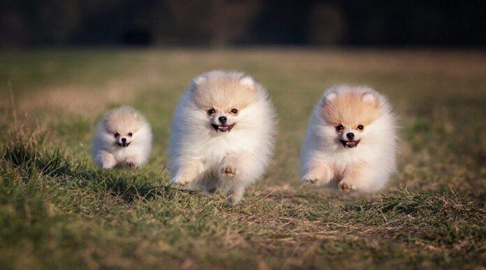 cuccioli di Pomerania