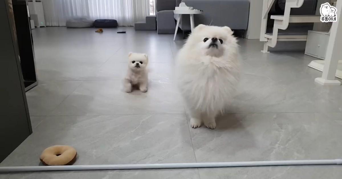 Due cuccioli di Pomerania hanno fame e lo comunicano alla loro padrona (VIDEO)