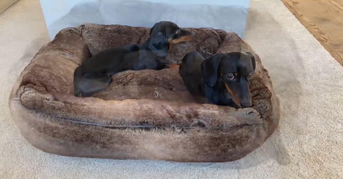 Cuccioli di Bassotto hanno una nuova cuccia e si rilassano (VIDEO)