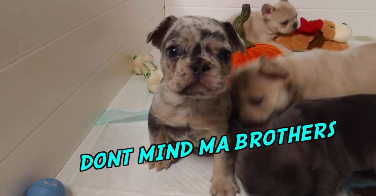 Cuccioli di Bulldog francese ricevono dei pupazzetti come regalo di Natale (VIDEO)