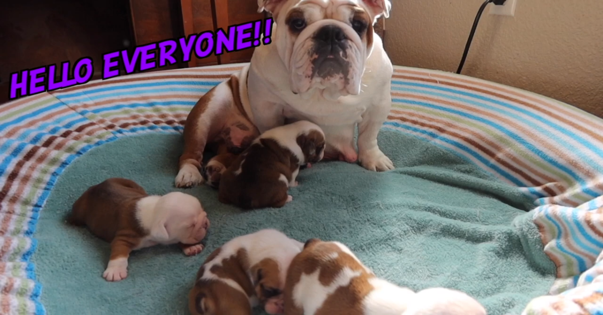 Dei cuccioli di Bulldog inglese appena nati giocano con la loro mamma (VIDEO)