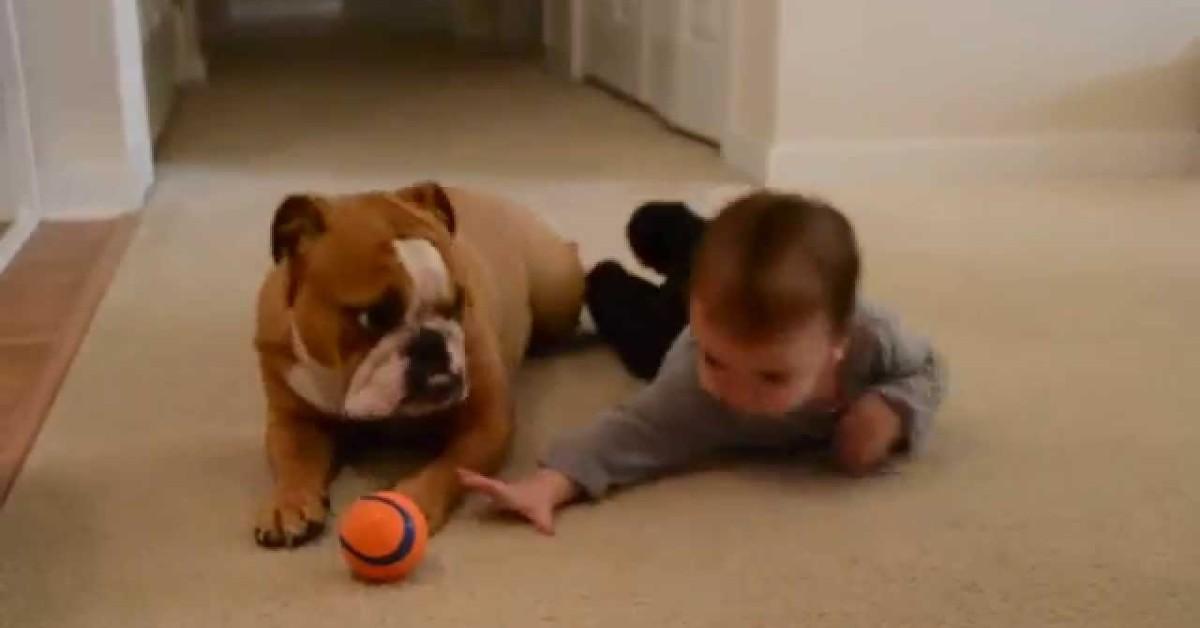 Un cucciolo di Bulldog inglese gioca con il suo fratellino umano (VIDEO)
