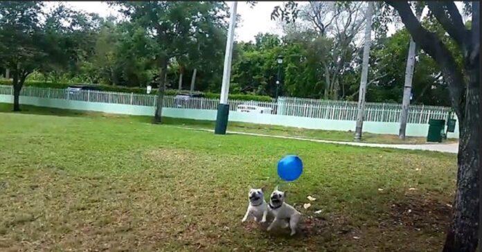 cuccioli bulldog palloncino
